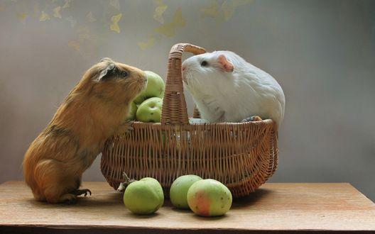 Обои Две морских свинки сидят в корзинке с зелеными яблоками