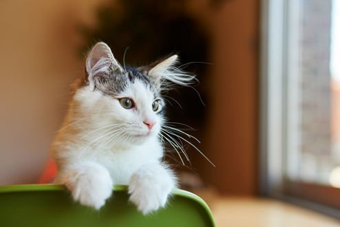 Обои Кошка положила лапки на спинку стула, by NEKOFighter
