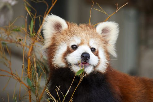 Обои Красная панда, by NEKOFighter