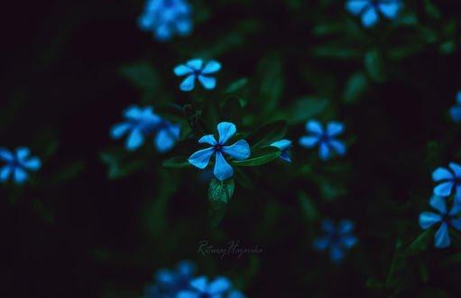 Обои Голубые цветы на темном фоне, фотограф Rituraj H
