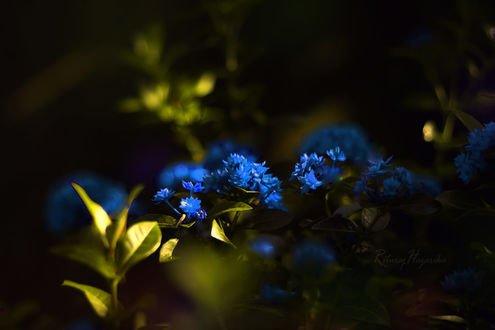 Обои Голубые цветы в траве, фотограф Rituraj H