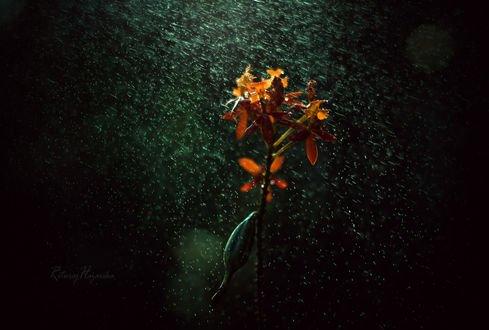 Обои Оранжевый цветок под дождем, фотограф Rituraj H
