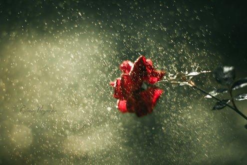 Обои Красная роза под дождем, фотограф Rituraj H