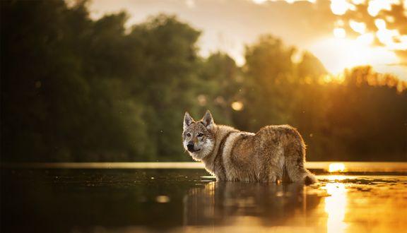 Обои Чешский волчак стоит в воде