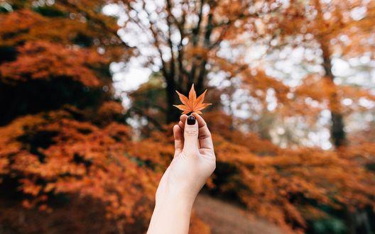 Обои В руке девушки осенний лист клена