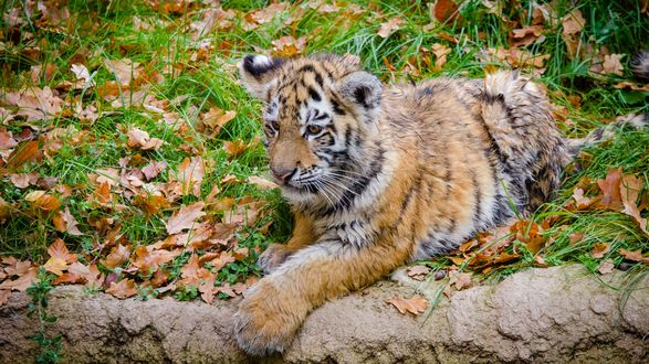 Обои Амурский тигренок отдыхает в заповеднике