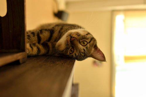 Обои Кошка лежит на полке, фотограф NEKOFighter