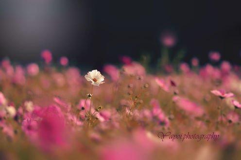 Обои Белая космея среди поля с розовыми, фотограф yayoi
