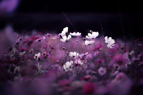Обои Цветы космеи на размытом фоне, фотограф yayoi