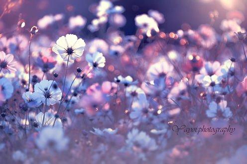 Обои Цветы белой космеи на размытом фоне, фотограф yayoi
