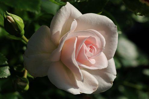 Обои Розовая роза на размытом фоне, by Dieffi