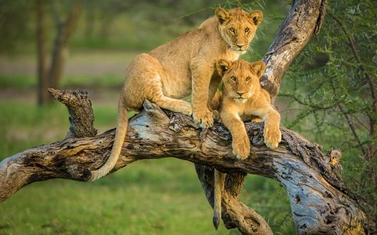 Обои Два льва сидят на коряге