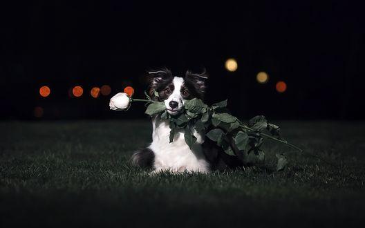 Обои Пес породы бордер-колли с розой в пасти лежит на траве
