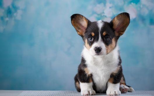 Обои Милый щенок породы вельш-корги на фоне бело-голубых обоев