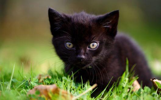 Обои Черный котенок лежит на зеленой траве среди сухих листьев