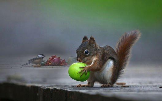 Обои Белка с яблоком и синица у веточки рябины, фотограф Andre Villeneuve