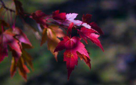 Обои Осенняя ветка клена