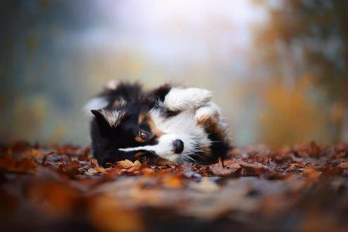 Обои Пес породы бернский зенненхунд лежит на осенней листве, фотограф Anne Geier