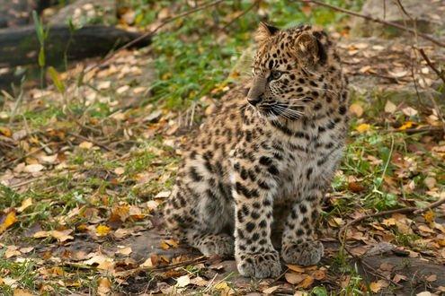 Обои Леопард на земле с осенней листвой, фотограф Dmitri Gomon
