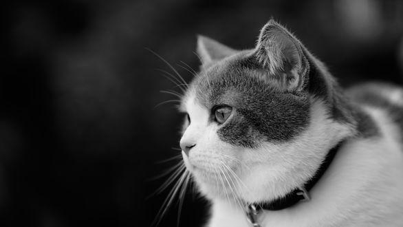 Обои Пухлый котик в черном ошейнике