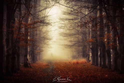 Обои Дорога между деревьями усыпана осенними листьями, фотограф Jan - Herman Visser