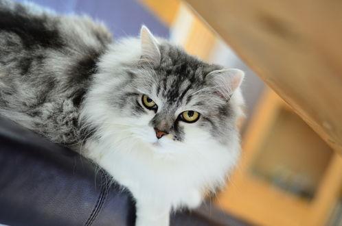 Обои Серый пушистый кот