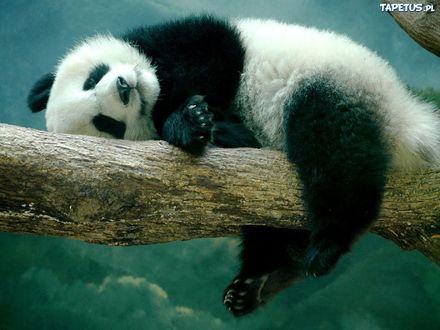 Обои Панда спит на стволе дерева