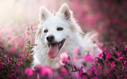 Обои Белая собака в цветах