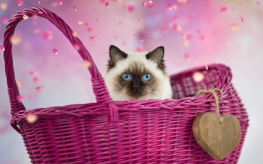 Обои Сиамская кошка в плетеной корзине
