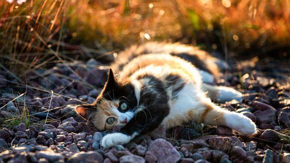 Обои Трехцветный котенок лежит на камнях