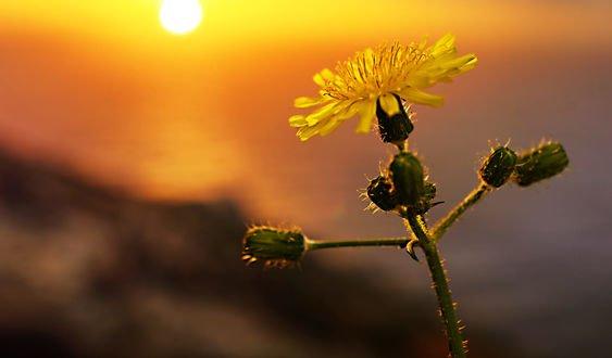 Обои Цветок на фоне заката, фотограф Anna Ovatta