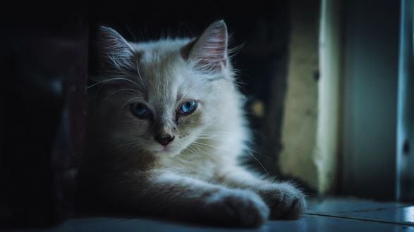 Обои Милый голубоглазый котенок