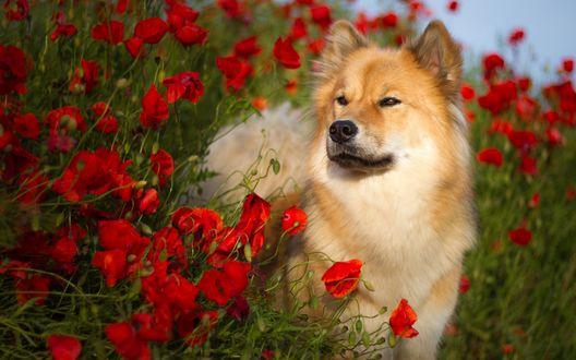 Обои Собака породы евразиер стоит в поле среди красных маков