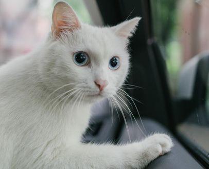 Обои Белая кошка в авто