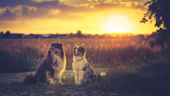 Обои Австралийские овчарки сидят в поле на закате солнца