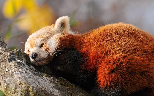 Обои Красная панда лежит на камне в заповеднике