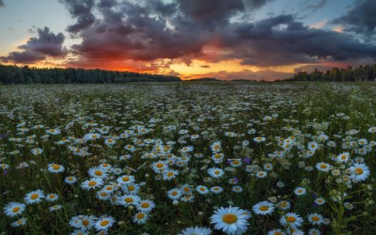 Обои Огромное поле белых ромашек на фоне заката, фотограф Андрей Грачев