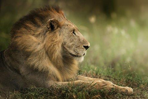 Обои Лев лежит на земле
