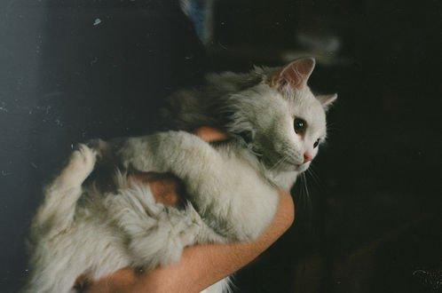 Обои Белая кошка на руках девушки