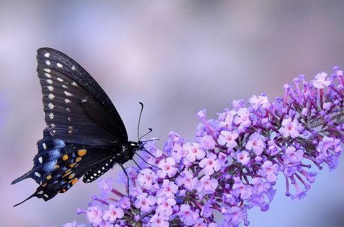 Обои Черный махаон на цветке