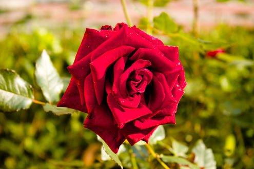 Обои Красная роза с капельками росы, фотограф Polina Drugal