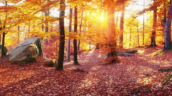 Обои Лучи яркого солнца пробиваются сквозь деревья в осеннем лесу, Карпаты, Украина