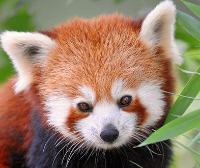 Обои Красная панда у листочков бамбука