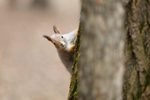 Обои Белка на дереве. Фотограф Цвелев Дмитрий