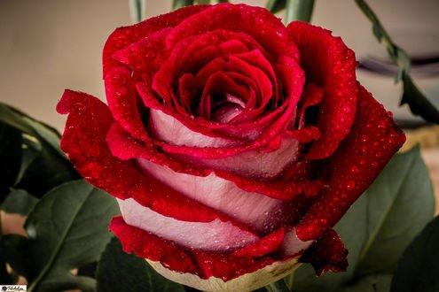 Обои Красная роза в каплях воды, by Tiefenbachpix. de