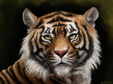 Обои Портрет тигра, by SvPolarFox