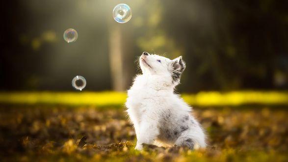 Обои Щенок австралийской овчарки сидит на осенних листьях в парке и смотрит на мыльные пузыри