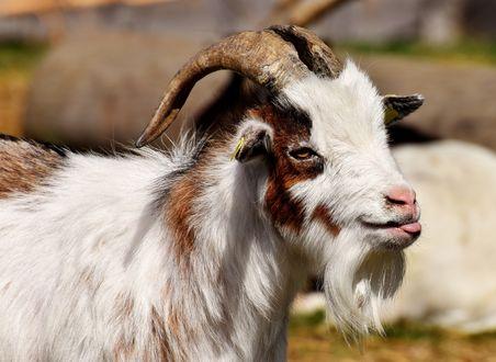 Обои Пушистый козел по кличке Билли на размытом фоне