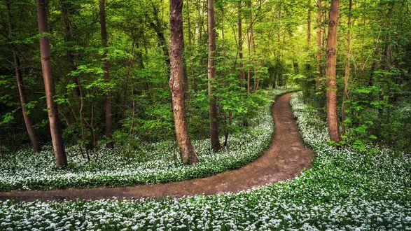 Обои Дорожка в весеннем лесном парке недалеко от Rhine / Рейна с цветущим диким чесноком, фотограф Andreas Wonisch