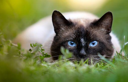 Обои Сиамский кот в траве